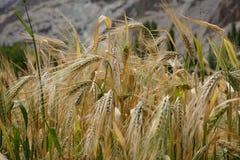 在Nubra谷的米领域在Turtuk, Leh拉达克 图库摄影