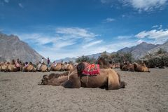 在Nubra谷,印度的双峰驼 图库摄影