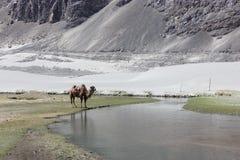 在Nubra谷, Ladakh的双峰驼 免版税库存照片