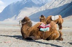 在Nubra谷, Leh的骆驼 免版税库存照片