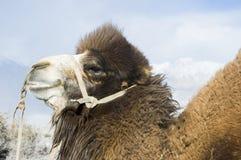 在Nubra谷, Leh的骆驼 库存照片