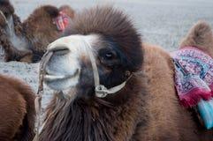 在Nubra谷, Leh的骆驼 库存图片