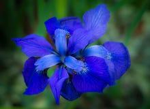 在NY植物园的美丽的蓝色花 免版税库存图片