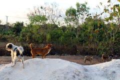 在Nyang-nyang海滩和一些残破的海难附近的狗在期间 库存照片