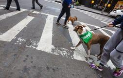 在NYC街道上的狗  库存图片