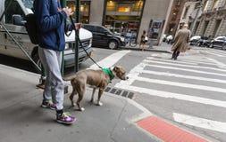 在NYC街道上的狗  库存照片