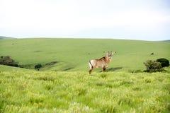在Nyika高原小山的软羊皮的羚羊  库存图片