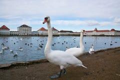 在Nymphenburg宫殿池塘的两只天鹅  免版税库存图片