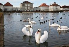 在Nymphenburg水宫殿的天鹅  免版税图库摄影
