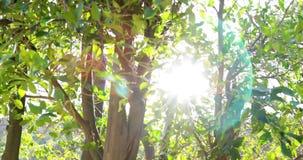 在O ` Melveny的柠檬树在格拉纳达Hills,加州4k 24fps停放 影视素材