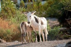 在Oatman的野生驮货驴子,亚利桑那 免版税库存图片