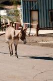 在Oatman的野生驮货驴子,亚利桑那 库存图片