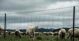 在oen的一只绵羊 免版税库存照片