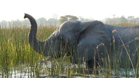 在Okavango三角洲的大象,博茨瓦纳,非洲 库存照片
