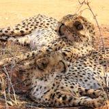 在Okonjima resevre的猎豹 免版税图库摄影