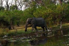 在Okovango三角洲的非洲大象 免版税库存图片
