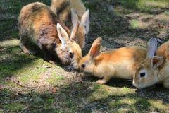 在Okunoshima,广岛,日本的兔宝宝 库存照片