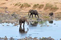 在olifant河附近的大象 库存照片