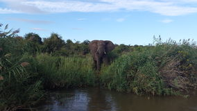 在Olifants河徒步旅行队的非洲大象饮用水 免版税库存照片
