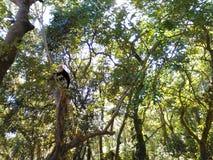 在omotepe的猴子 免版税图库摄影