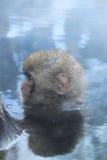 在onsen的雪猴子 库存图片