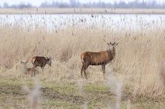 在oostvaarders的公马鹿在lelystad附近plassen在荷兰 免版税库存图片