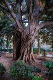 在Ortigia的一棵巨型榕属树,海岛在Siracusa,西西里岛 免版税库存照片