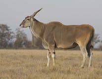 在osenneey干草原的男性eland。 库存图片