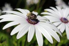 在Osteospermum花的甲虫。 库存图片