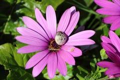 在Osteospermum花的蜗牛 免版税图库摄影