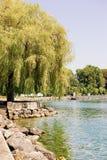 在Ouchy村庄洛桑的莱芒湖堤防的柳树 库存照片