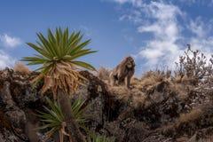 在outcroping的Gelada狒狒 免版税库存照片