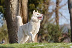 在outdoore的西伯利亚爱斯基摩人狗 库存照片