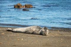 在Owhiro海湾,惠灵顿NZ的年轻豹子封印 库存图片