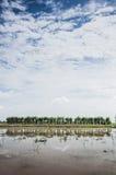 在padi领域的甘蔗 库存图片