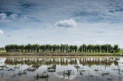在padi领域的甘蔗 免版税图库摄影