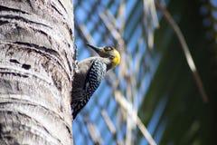 在palmtree的啄木鸟 免版税库存图片