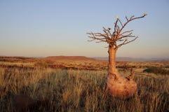 在Palmwag附近装瓶结构树(pachypodium lealii) 库存图片