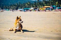 在Palolem海滩,果阿的狗 免版税库存图片