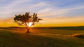 在Palouse的一棵孤立树 库存图片