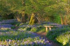 在Pamphill会开蓝色钟形花的草森林,多西特,英国反弹 库存图片