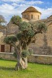 在Panagia Angeloktisti教会背景Kiti拉纳卡塞浦路斯的橄榄树 免版税库存照片