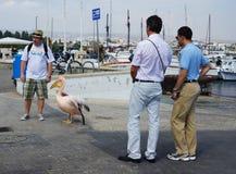 在Paphos港口的鹈鹕  免版税库存照片