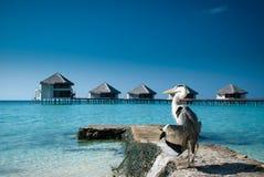 在Paradiese海滩的苍鹭 免版税图库摄影