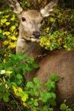 在Parco Nazionale D `阿布鲁佐的逗人喜爱的鹿 库存照片