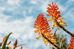 在Park,珀斯, WA,澳大利亚国王的南非植物群展览花 库存照片