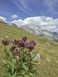 在Passo圣贾科莫的Gentiana purpurea 免版税库存照片