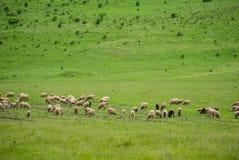 在Pasturage的绵羊 库存照片