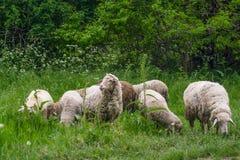 在Pasturage的绵羊 免版税库存图片