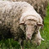 在Pasturage的绵羊 免版税库存照片